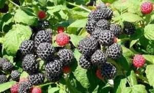 Найпоширеніші сорти малини в Україні