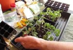 Чим підгодовувати розсаду помідорів в домашніх умовах