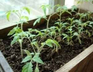 Підживлення розсади помідорів в домашніх умовах