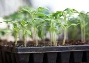 Підгодівля розсади помідорів