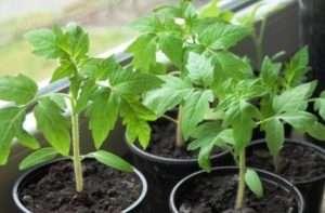 Добрива для розсади помідорів
