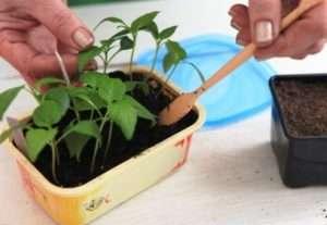Чим найкраще удобрювати розсаду помідор
