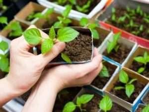 Вирощування і підгодівля розсади томатів