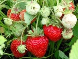 Чим підкормлювати полуницю весною