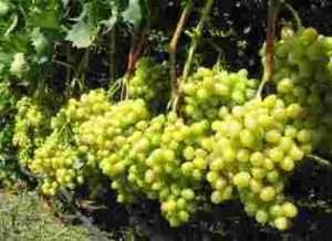 Підживлення винограду навесні