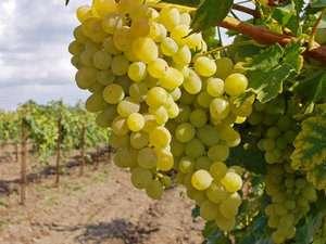 Підгодівля винограду - чим і як удобрювати