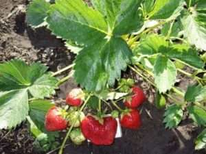 Вирощування полуниці «королева Єлизавета» на дачі