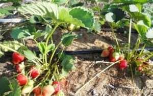 Правила вирощування полуниці «Королева Єлизавета»