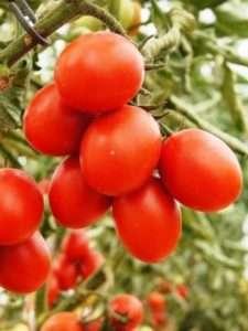Сорт помідорів чері 6 пунто 7