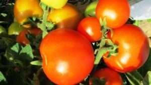 Червона Шапочка, як один із сортів помідорів черрі