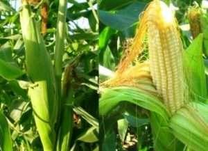 Кукурудза: вирощування, коли садити та правильний догляд у відкритому ґрунті