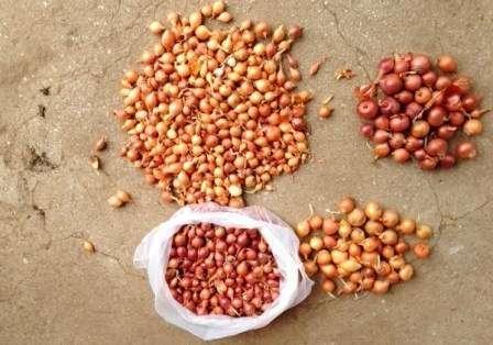 Замочування лука севка покращує схожість і підвищує врожайність