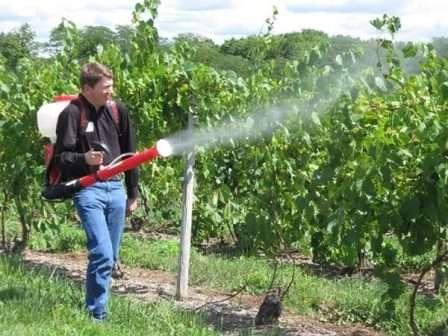 Весняна обробка винограду: навіщо потрібне обприскування?