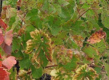 Чим обробляти виноград від хвороб і шкідників?