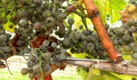 Весняна обробка винограду від хвороб і шкідників. Чим обробляти, схема обробки