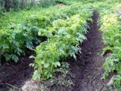 Якою має бути відстань між рядами картоплі при посадці у відкритий грунт