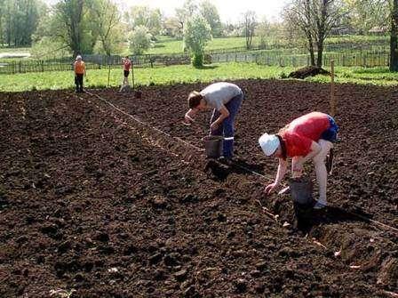 Рання посадка картоплі ризикована, але приносить хороший урожай