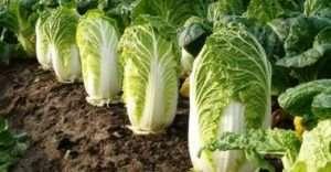 Пекінська капуста - вирощування на дачній ділянці