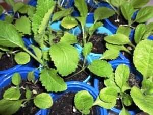 пекінська капуста як вирощувати