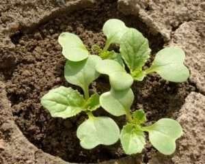 пекінська капуста технологія вирощування
