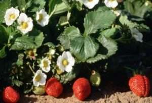 Як навесні обробити полуницю від шкідників