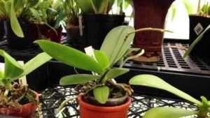 як удобряти орхідею