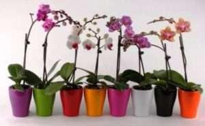Домашні орхідеї: як доглядати, пересадка, розмноження, підгодівля