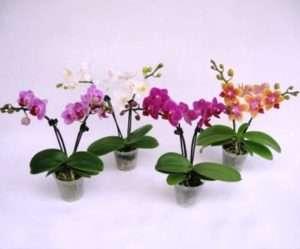 Орхідеї – догляд в домашніх умовах