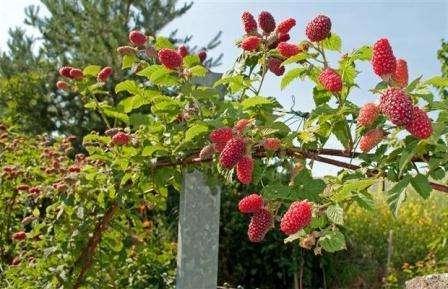 Догляд за малиновим деревом
