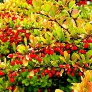 Барбарис - корисна рослина