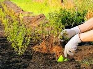 Коли садити барбарис