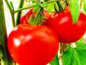 Низькорослі сорти помідорів