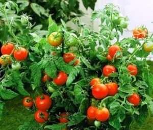 Низькорослий сорт помідорів «Акварель»