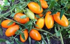 низькорослі сорти помідорів в україні