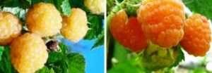 Жовта малина: як вирощувати, сорти, догляд та види. В чому перевага та користь
