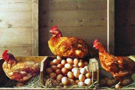 Усередині курника необхідно підтримувати оптимальний для проживання птиці мікроклімат