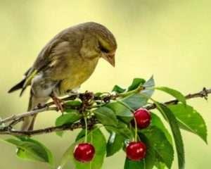 Як захистити черешню від птахів