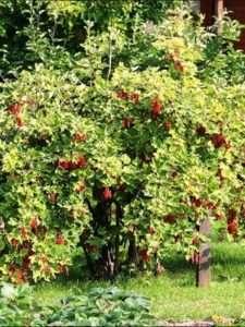 кущі червоної смородини