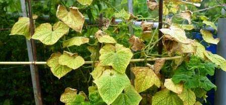 Шкідники огірків: боротьба з ними, їх види, фото,як захиститись від них