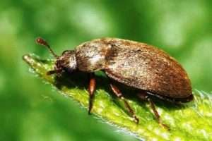 Малиновий жук