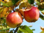Чому жовтіє листя на яблуні