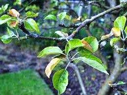 жовтіє листя на яблуні аналіз