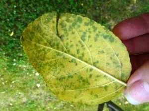 Жовтіє листя на яблуні - можливі причини