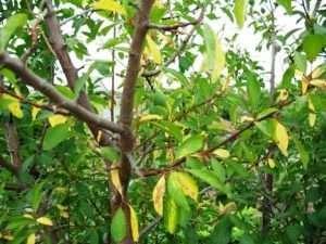 Методи боротьби з пожовклим листям на яблунях