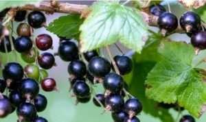 Як збирати чорну смородину