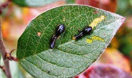чорні личинки на листі вишні