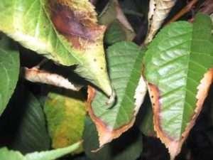 Хвороби вишні - боротьба з шкідниками та профілактика від хвороб