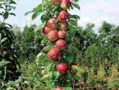 Колоновидна яблуня
