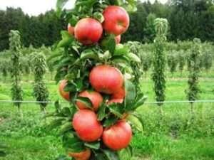 Колоновидна яблуня: посадка і догляд