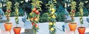 колоновидная яблоня фото
